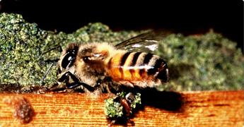 ブラジルのミツバチはプロポリスを大量に集めるのが特徴