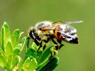 上質なプロポリスを作るアフリカ蜂化ミツバチ